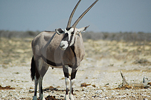 Gemsbok in Etosha #4 Royalty-vrije Stock Fotografie