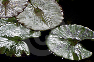Lily Pads In Pond Stock Images