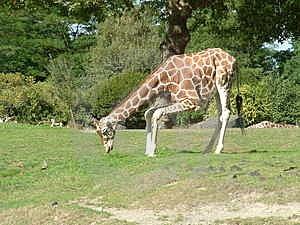 Giraffe Free Stock Photo