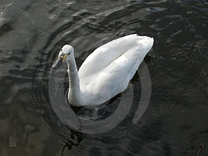 Cisne Fotos de Stock