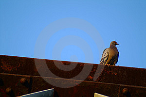 Pombo Foto de Stock Royalty Free