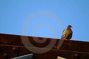 Pigeon Free Stock Photo