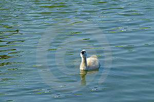Baby Swan Free Stock Images