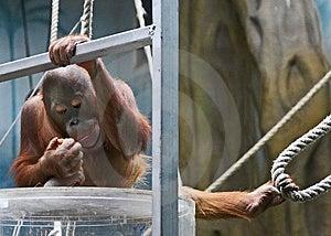 警惕猴子 免版税库存图片