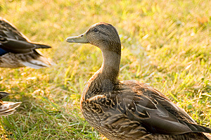 Duck Portrait Free Stock Photo