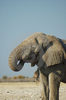 African Elephant Free Stock Images