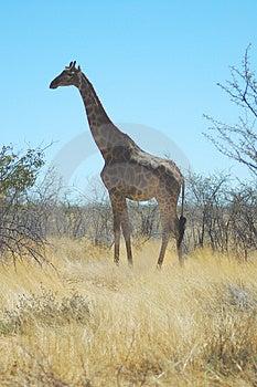 Giraffa in Etosha Fotografia Stock