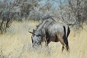 Blue wildebeast in Etosha Stock Image