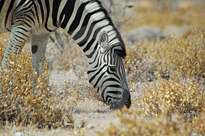 Zebra #1 Immagini Stock Libere da Diritti