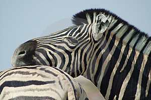 Zebra Lovers #3 Stock Images