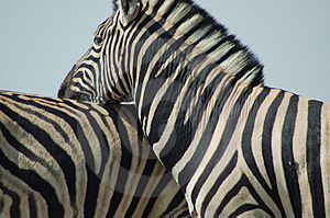Zebra Love #2 Free Stock Photo