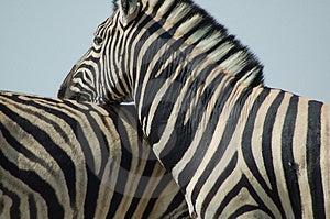 Zebra love #2 Royalty Free Stock Photo