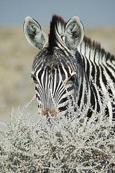 Sguardo fisso della zebra Fotografia Stock