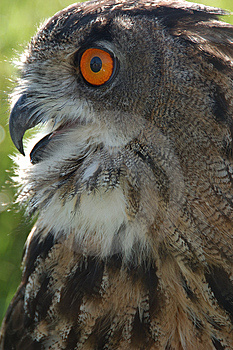 Owl Free Stock Images