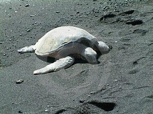 Turtle On Black Sand Beach Stock Photo