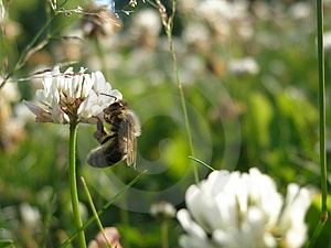 A abelha Foto de Stock