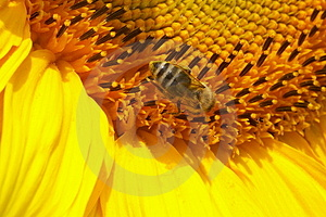 Sunflower With Bee Free Stock Photography