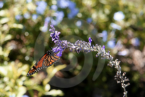 Monarch Butterfly I Stock Photos - Image: 2306013