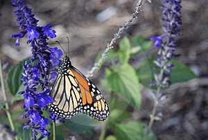 Monarch Butterfly IV Stock Images - Image: 2306174
