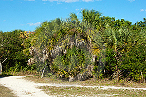 Cluster Of Palm Trees Along Dirt Road Royalty Free Stock Photo - Image: 23000935