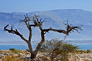 A Dry Solitary Snag Near The Dead Sea Royalty Free Stock Photo - Image: 23002635