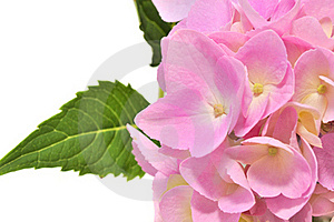 Pink Hydrangea Flowers with Green Leaves