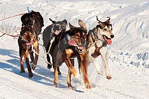 Sleddog Rennen Lizenzfreie Stockfotos - Bild: 23019678