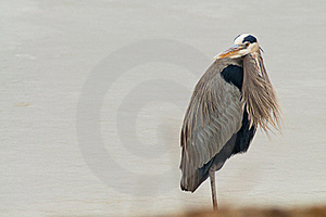 Great Blue Heron Royalty Free Stock Photo - Image: 23019825