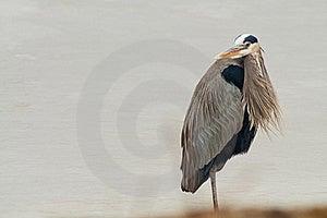 Great Blue Heron Royalty Free Stock Photo - Image: 23019825