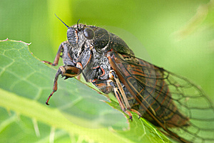 Cicada Stock Images - Image: 23023544