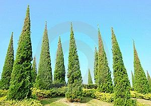 Pine Royalty Free Stock Photos - Image: 23035968