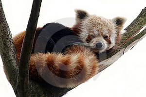 Red Panda On A Tree Branch Royalty Free Stock Images - Image: 23051299