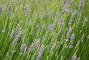 Lavender Stock Image - Image: 23055701