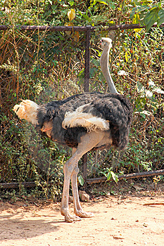 Ostrich Royalty Free Stock Photography - Image: 23063497
