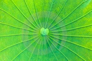 Lotus Leaf Stock Photos - Image: 23081723