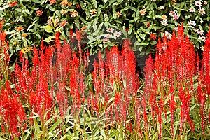 Cockscomb Flower Royalty Free Stock Photos - Image: 23096228