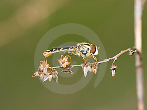 Hoverfly Stock Image - Image: 2313911