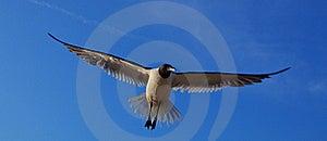 Laughing Gull, Leucophaeus Atricilla, In Flight Stock Photography - Image: 23123742