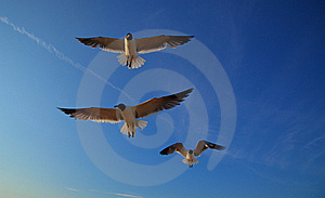 Laughing Gulls, Leucophaeus Atricilla, In Flight Royalty Free Stock Photos - Image: 23123758
