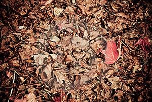 Liquidambar Red Leaf On The Ground Stock Image - Image: 23126241