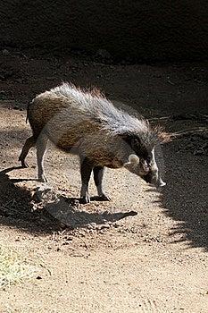 Wild Pig Royalty Free Stock Photo - Image: 23139225