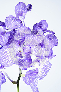 Orchid Violet Stock Images - Image: 23150804