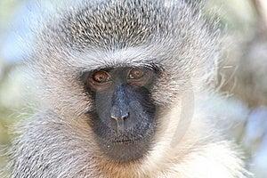 Vervet Monkey Stock Photos - Image: 23175623