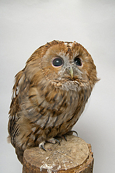 Brown Owl Lloking To The Right Top Corner Royalty Free Stock Image - Image: 23190096