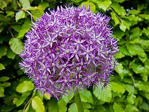 Purple Allium Royalty Free Stock Images - Image: 23193859
