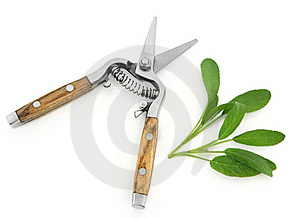 Sage Herb And Secateurs Stock Photo - Image: 23193940