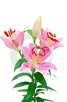 Lilly Flower Stock Image - Image: 23196041