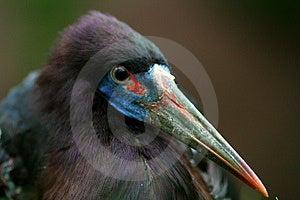 African Bird - Colorful Beak Royalty Free Stock Photos - Image: 2321528