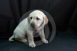 Labrador retriever puppy 7 Royalty Free Stock Photos