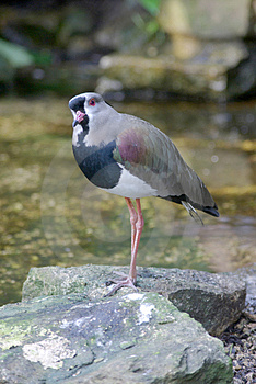 Southern Lapwing Royalty Free Stock Photo - Image: 2324275